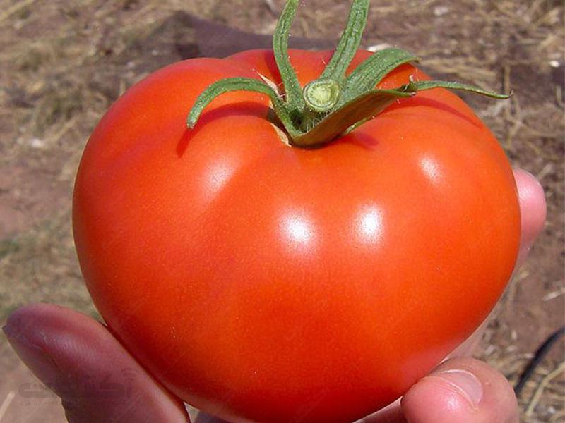 بذر گوجه فرنگی سوپر موبیل