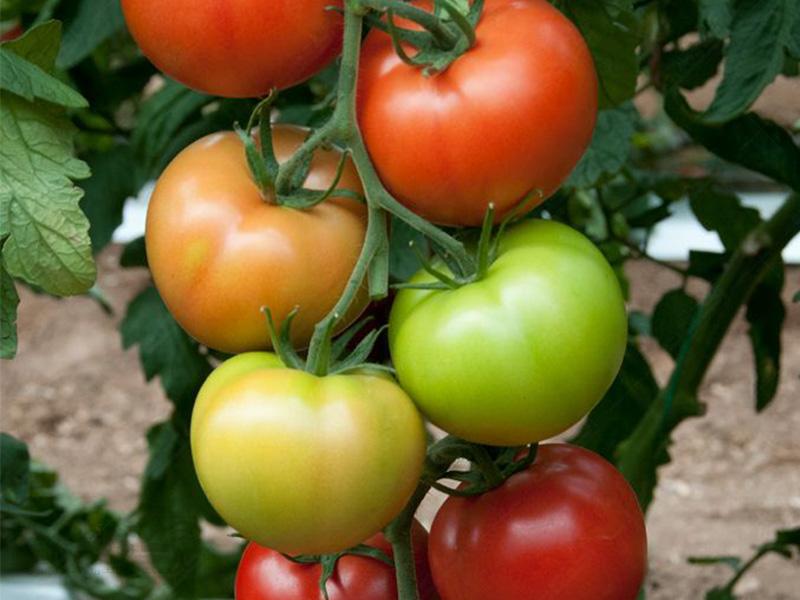 بذر گوجه فرنگی فولیا