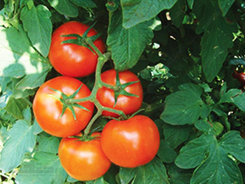 بذر گوجه کاردلن