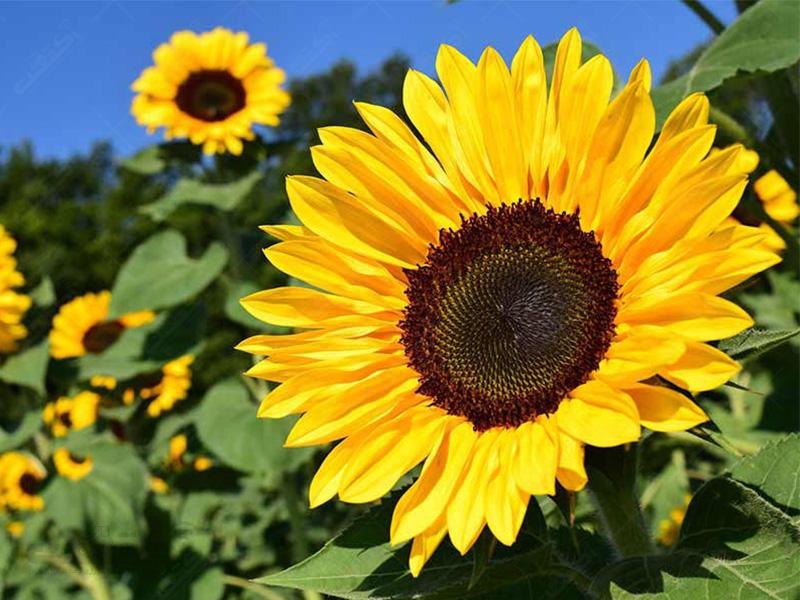 بذر گل آفتابگردان