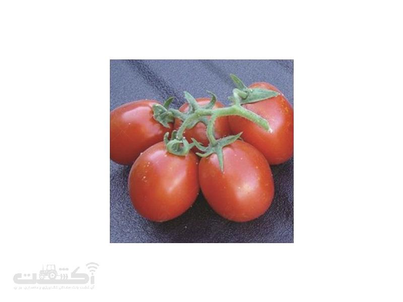 بذر گوجه فرنگی باران