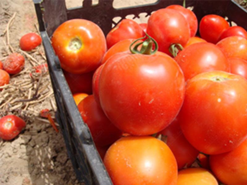 بذر گوجه فرنگی یونی ژن