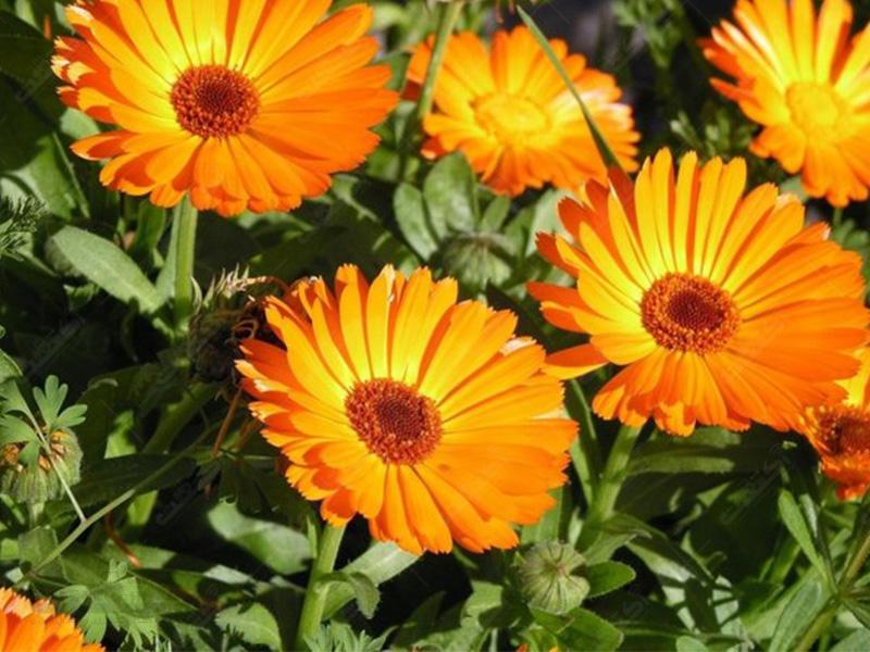 گیاه دارویی همیشه بهار