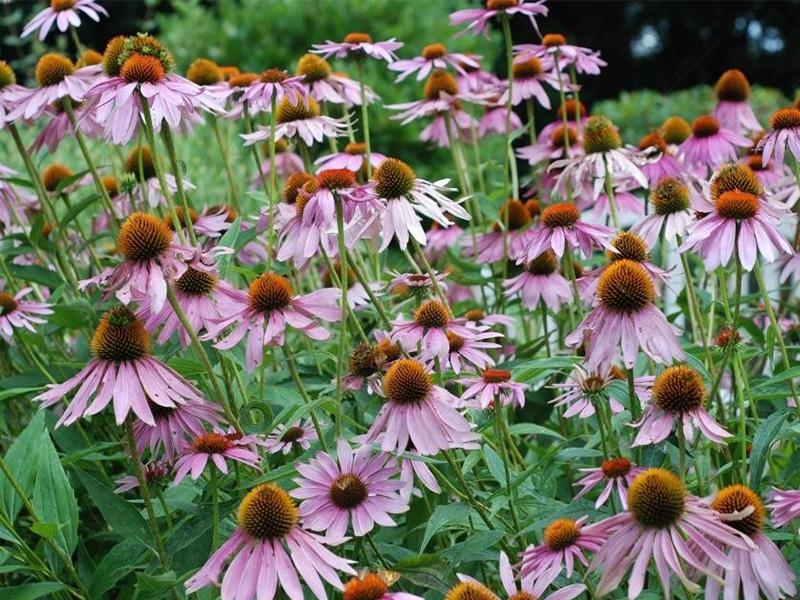 گیاه دارویی سر خار گل