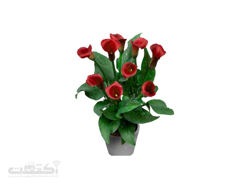 پیاز گل شیپوری هلندی قرمز