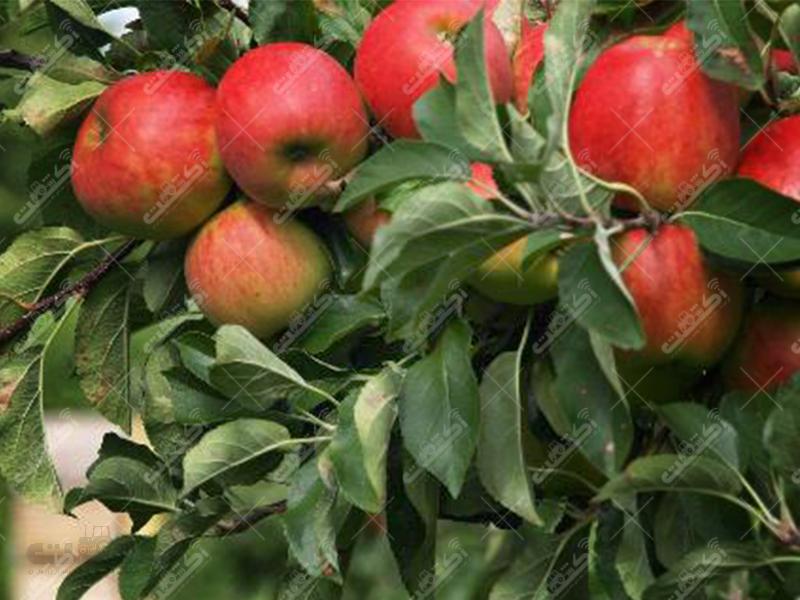 فروش نهال سیب پایه مالینگ و مالینگ مرتون