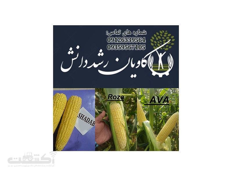 فروش انواع بذر ذرت شیرین