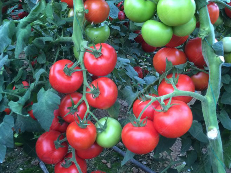 بذر گوجه فرنگی جانان
