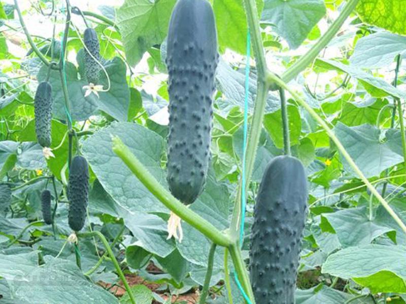 بذر خیار خاردار مریچ
