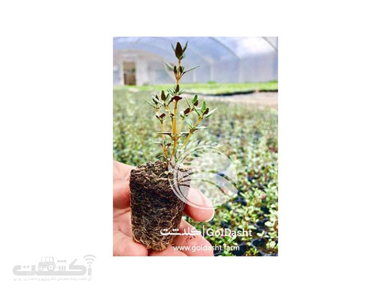 فروش نشا انواع گیاهان دارویی در مشهد
