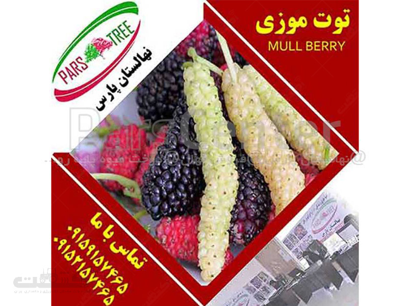 تولید و فروش نهال درخت توت موزی
