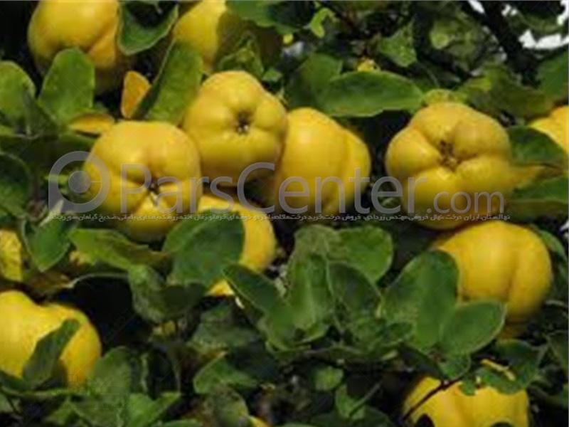 تولید و فروش نهال درخت به اصفهان