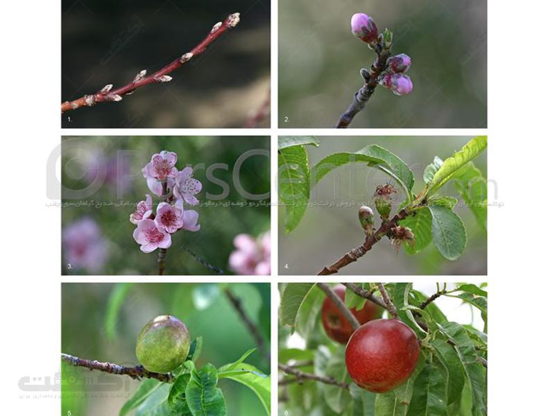 تولید و فروش نهال درخت شلیل کیوتا