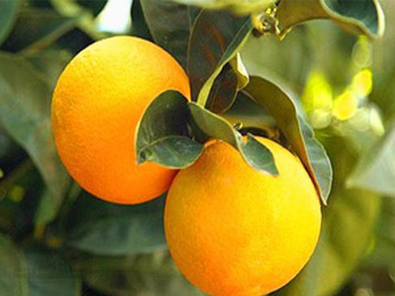 تولید پرتقال مارس