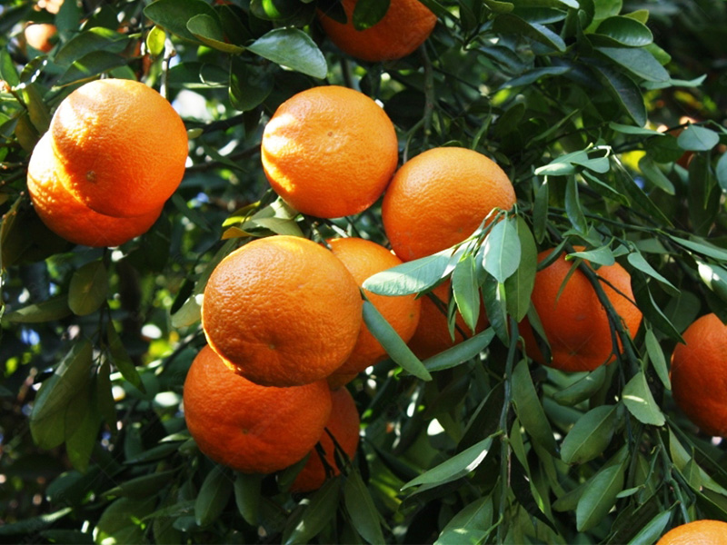 تولید نارنگی کارا