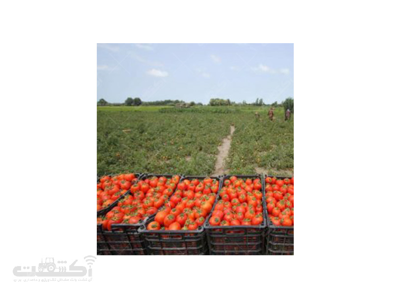 تولید و فروش نشا گوجه فرنگی فضای باز