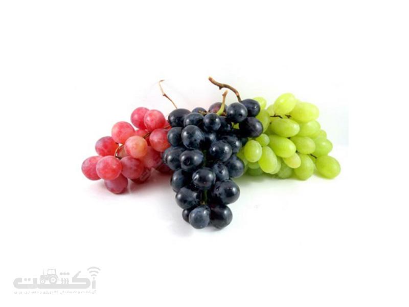 تولید قلمه درخت انگور