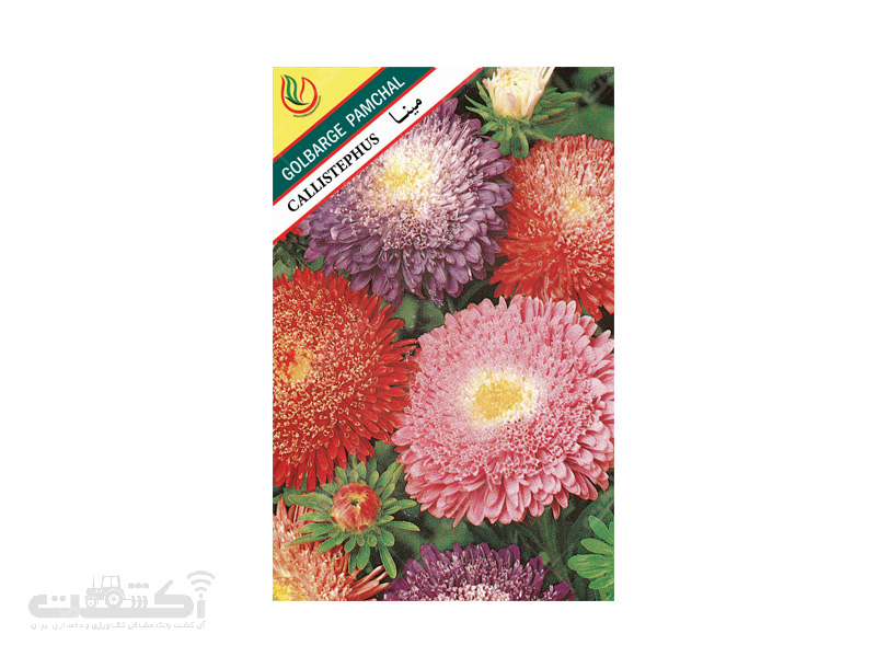 تولید و فروش بذر گل زینتی مینا