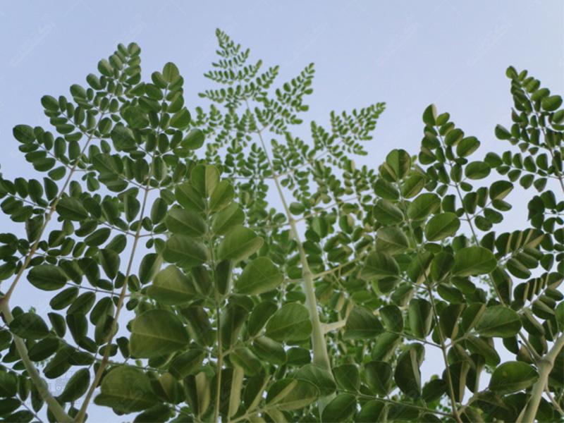 تولید نهال گیاه مورینگا
